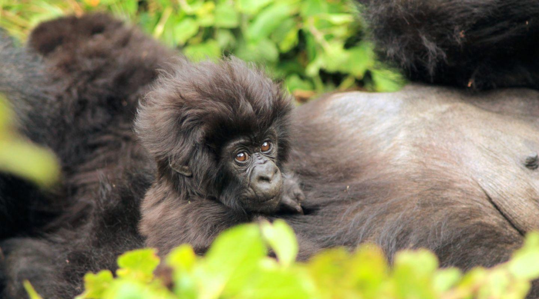 Gorilla Trekking Rwanda 6