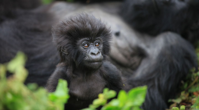 Gorilla Trekking Rwanda 7