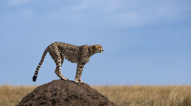 Angama Mara cheetah