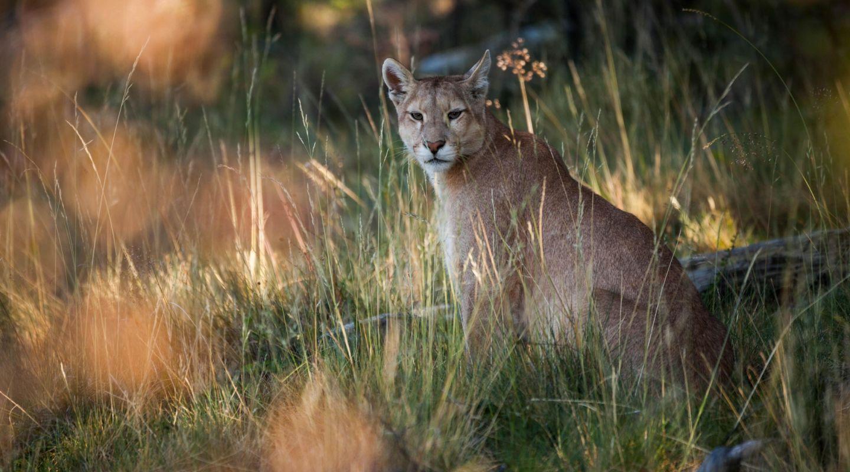 Awasi Patagonia Torres del Paine puma