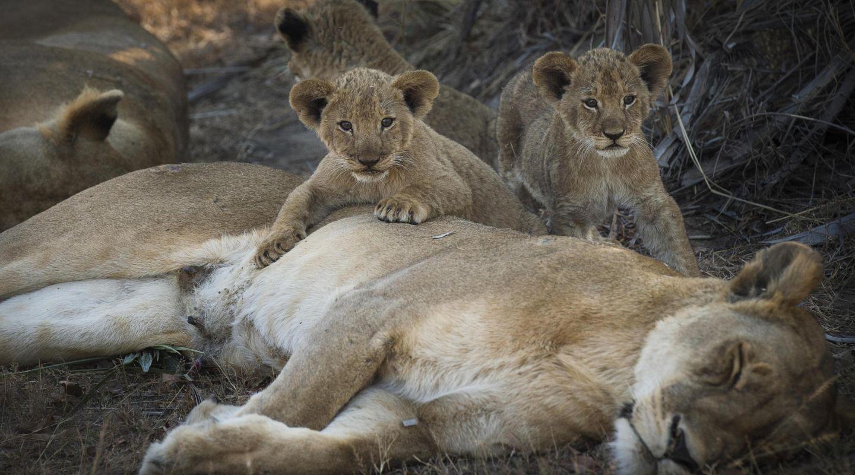Chada Katavi lions