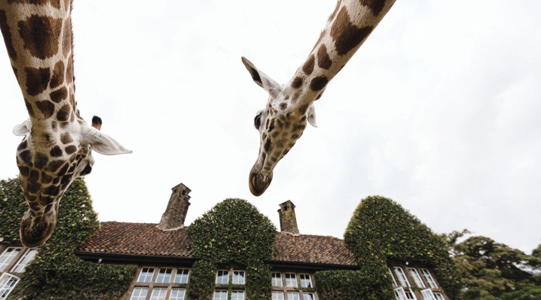 Giraffe manor giraffe 4