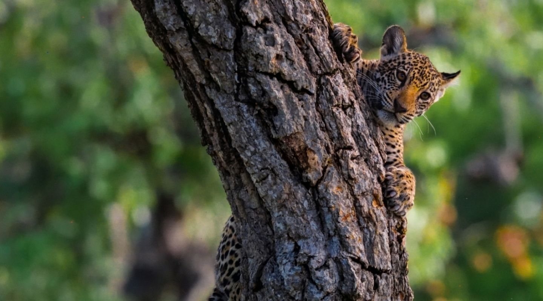 Keith Ladzinski Niarra Travel Caiman jaguar cub