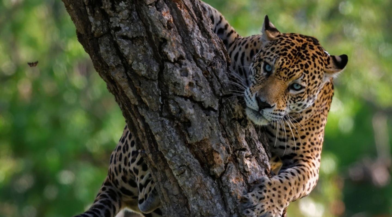 Keith Ladzinski Niarra Travel Pantanal-Caiman-Ecological-Refuge-Brazil-Jaguar