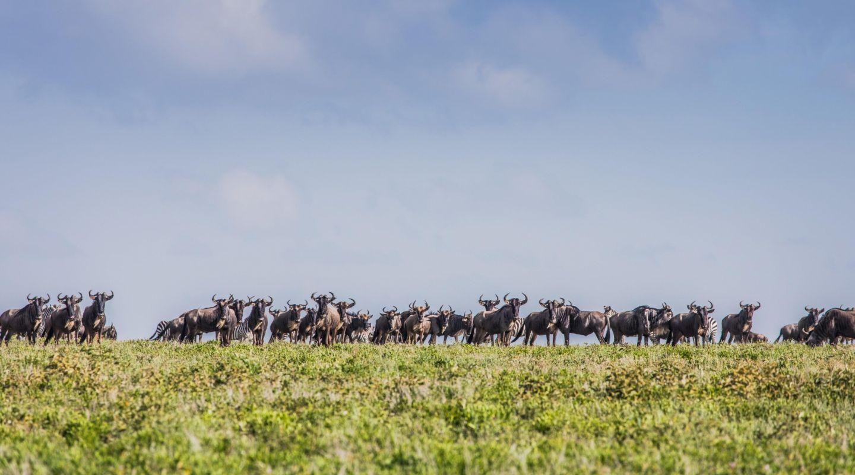 Legendary Migrational Camp serengeti