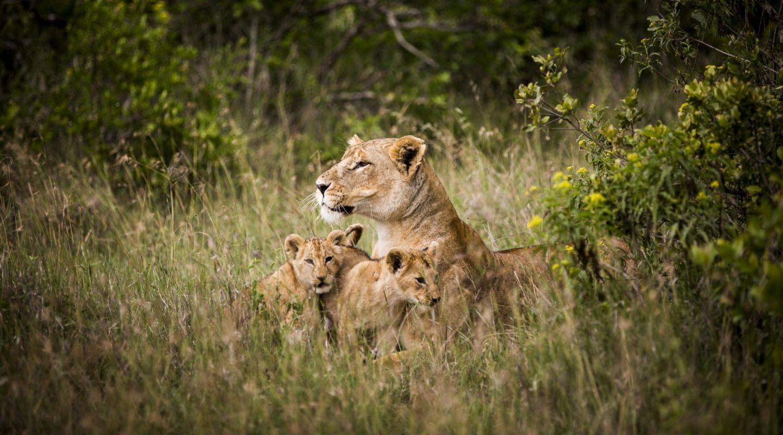 Segera Retreat lion cubs