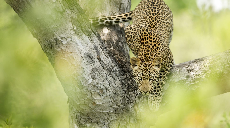 Singita Boulders Lodge leopard