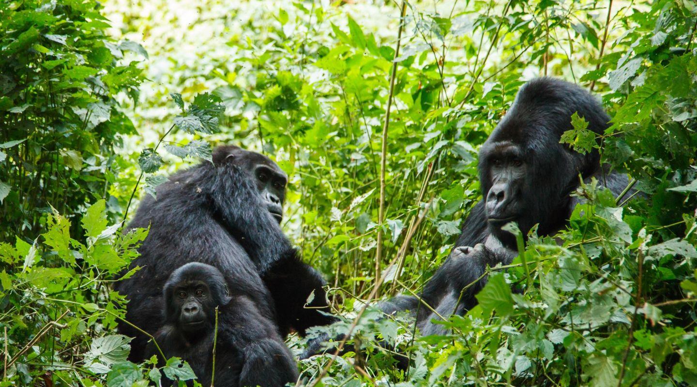 Singita Kwitonda Rwanda Gorilla Trekking 13