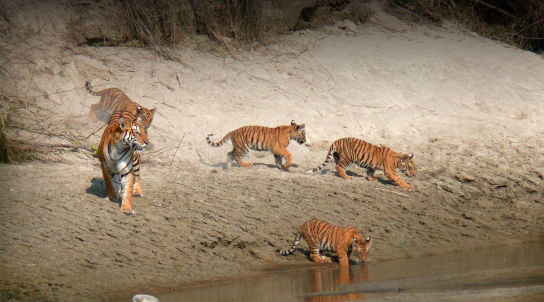 Tigertops tigers chitwan HERO