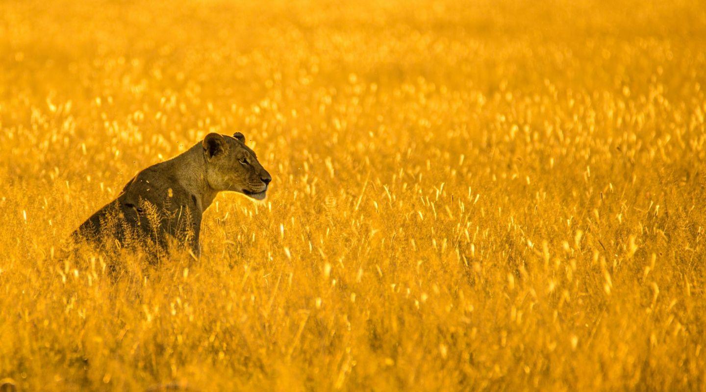 Birger strahl lion botswana unsplash