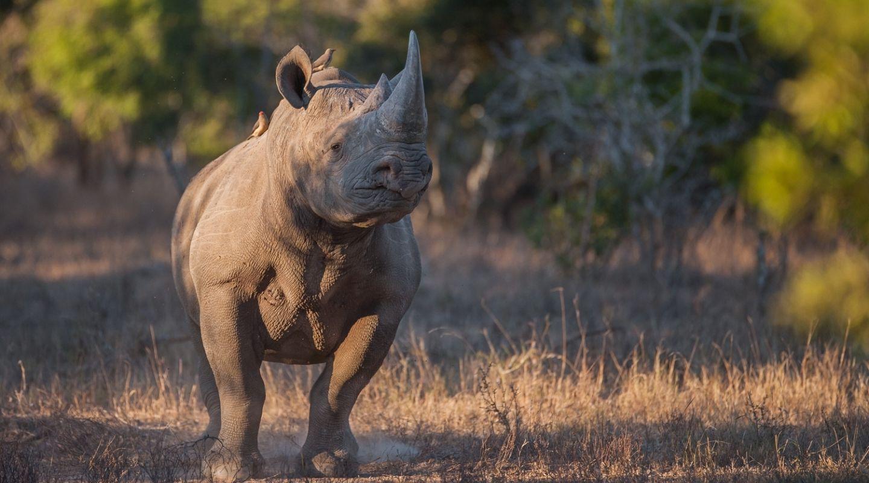 Malewane rhino safari kruger