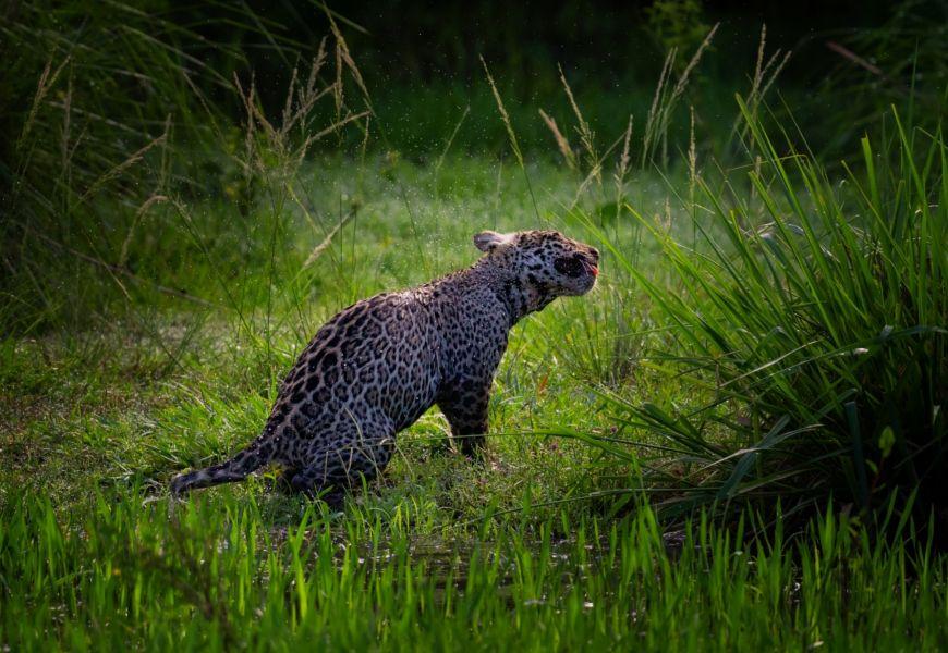 Keith Ladzinski for Niarra Travel Caiman Refuge jaguar 3