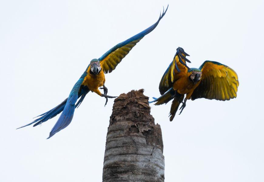 Macaws brazil keith ladzinski