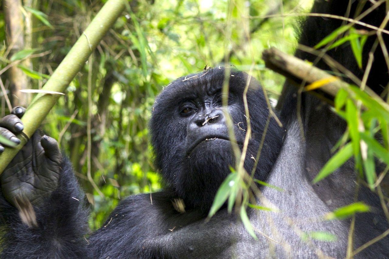 Gorillas rwanda james whiteman 6